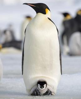baby emperor penguin hatching